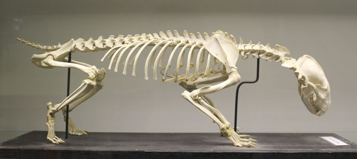 European badger (Meles meles) skeleton at the Royal Veterinary College anatomy museum - Meles meles - Wikipedia