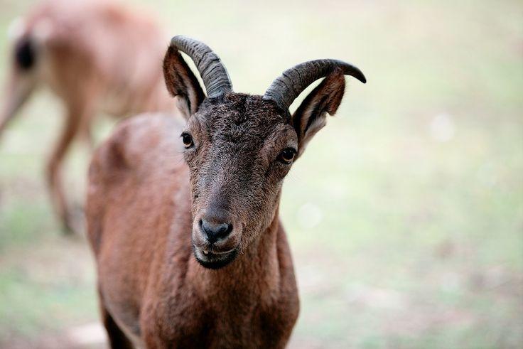 Goat by Sergey Irkhin on 500px