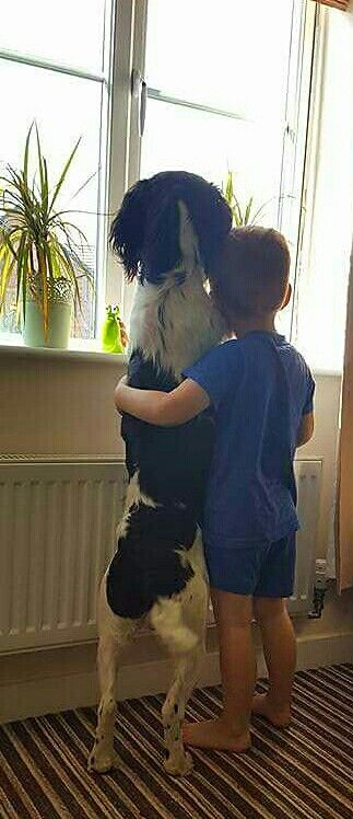 Springer Spaniel & his boy 🐾❤️🐾