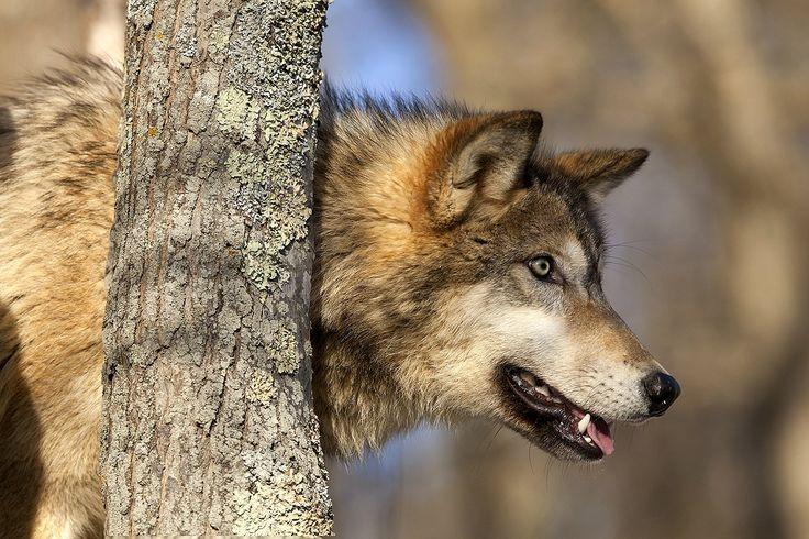 114 Best Images About Wolf Head In Pro Vlk Z Profilu