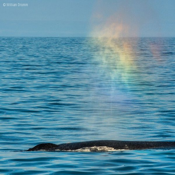 Whale rainbows-I didn't know whales could produce their own rainbows, but … they can 5/14/15 Iridescence above a whale in Monterey Bay. Photo by William Drumm via Oceana