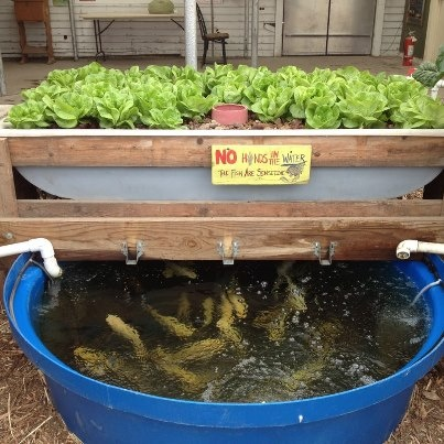 17 best images about aquaponic gardening on pinterest for Koi pond aquaponics