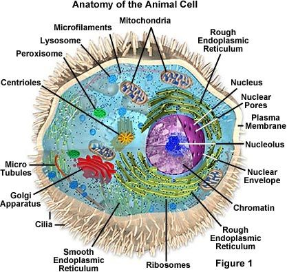 Animal Cells They Appear To Help In Organizing Cell Division But