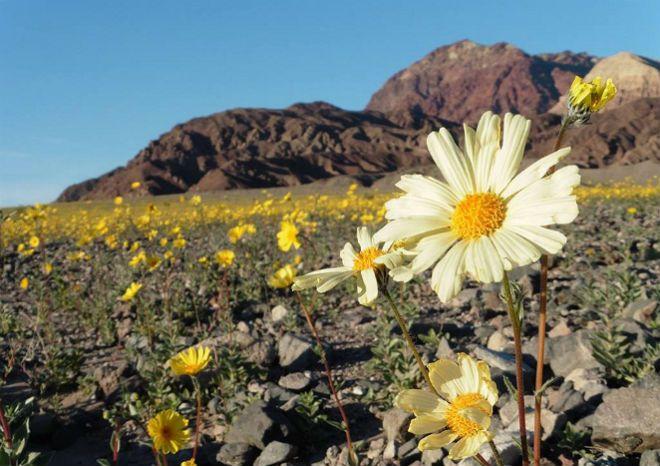 В Национальном парке Долина смерти, который находится к востоку от горного хребта Сьерра-Невада в американском штате Калифорния, в феврале распустились цветы, сообщает Daily Mail.