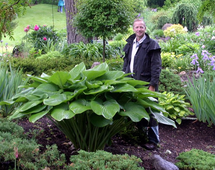 """Vim and Vigor"" hosta -  WOW!!! I can't believe the size of this hosta!  AWESOME & beautiful.  Inspires me."