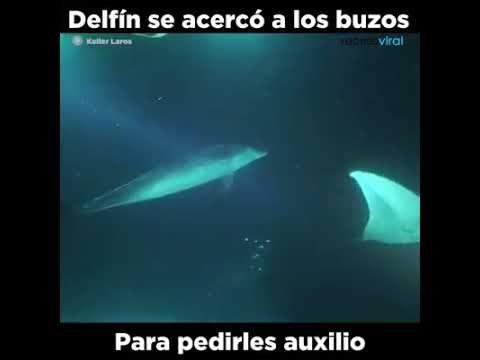 Delfín en problemas pide auxilio a un buzo  https://youtu.be/AOwNcQx2QiQ  Se acerca a pedirle ayuda