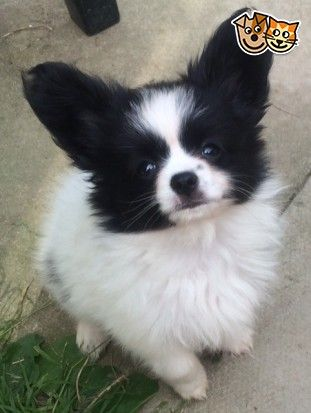 BEAUTIFUL PAPILLON PUPPIES | Doncaster, South Yorkshire | Pets4Homes