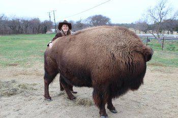 Housebroken Bison Sold On Craigslist Finds New Home Selling On Craigslist Texas Women Unusual Animals