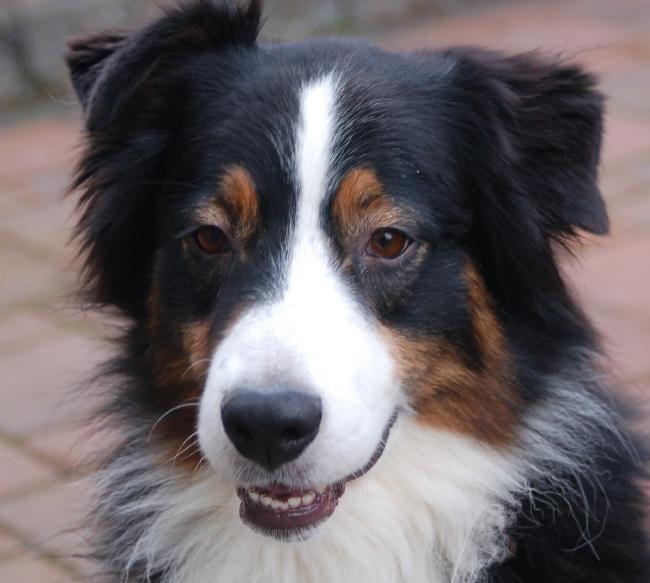 Australian Shepherd Rescue pets Pinterest Australian
