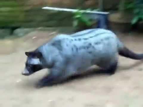 Musang Pandan Obes Lucu Dan Menggemaskan Hewan Binatang Musang