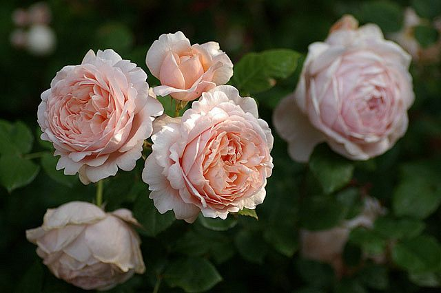 'Ambridge Rose' (1990) David Austin rose | via nomad123