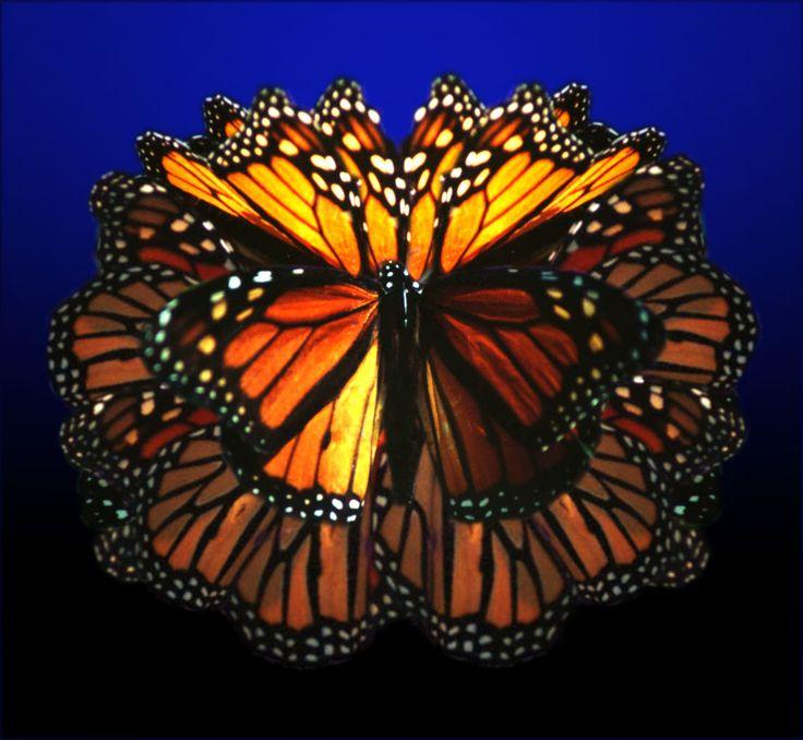 """Winged Symphony"" - California Monarch"