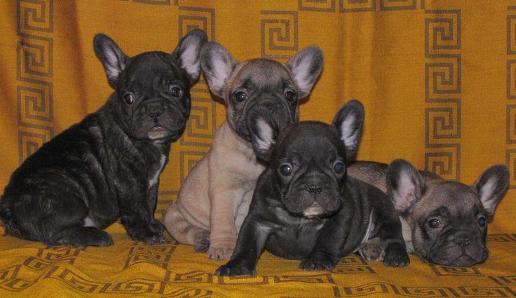francia bulldog | Famous Bulldog » Francia bulldog – Eladó kölykök