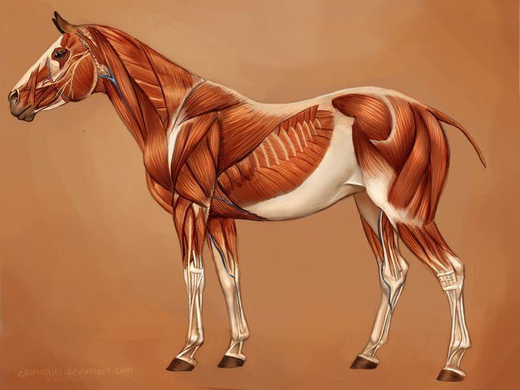 219 mejores imágenes de Equine Anatomy en Pinterest | Anatomía ...