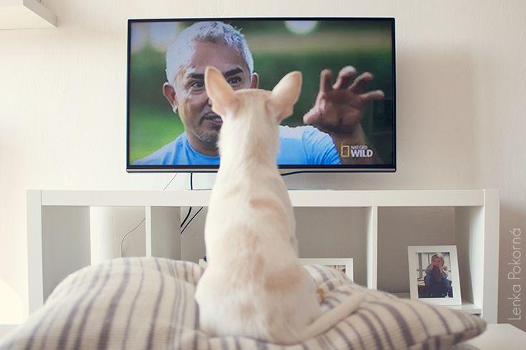 Chihuahua watching Cesar Millan
