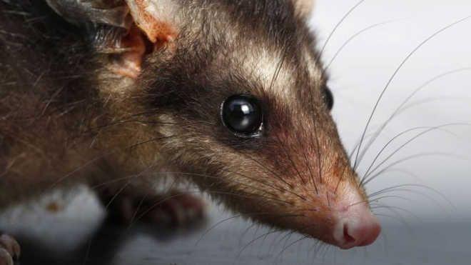 Denúncias de maus-tratos a gambás geram comoção na web; animais estão em época vulnerável em Rio das Ostras, RJ