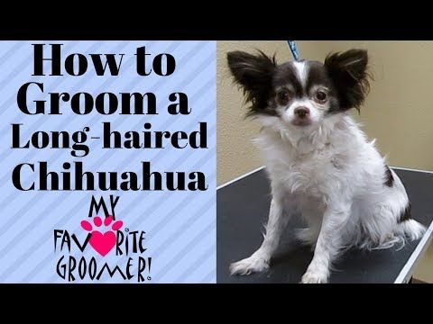 Grooming A Long Haired Chihuahua Youtube Long Haired Chihuahua Long Hair Styles Chihuahua