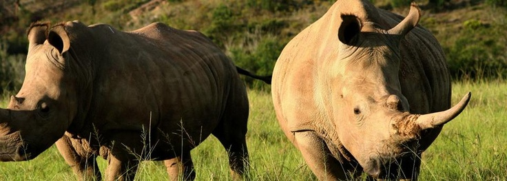 Rhino -  Botlierskop Private Game Reserve