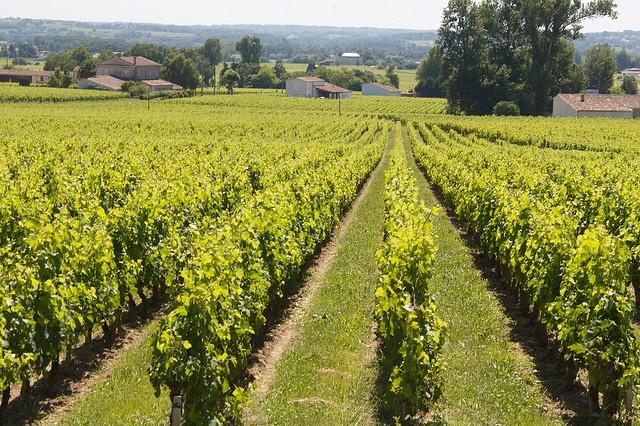 Vignes Saint-Emilion © Julien Menichini