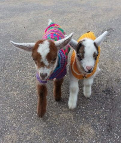 lil goats with sweaters!