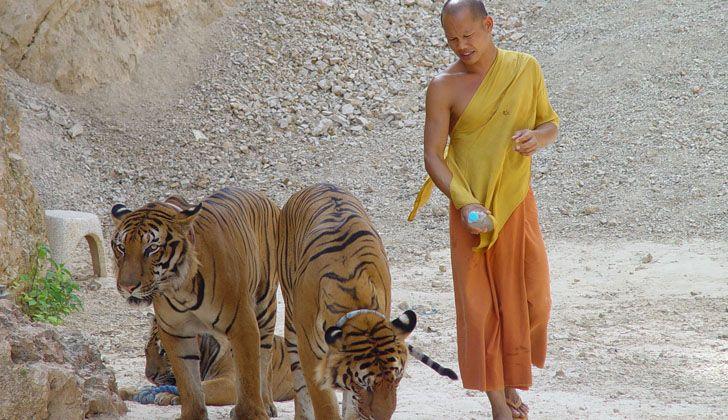Los 13 países con poblaciones de tigres todas en peligro de extinción unifican plan para duplicar el número antes de 2022 - http://verdenoticias.org/index.php/blog-noticias-diversidad-biologica/222-los-13-paises-con-poblaciones-de-tigres-todas-en-peligro-de-extincion-unifican-plan-para-duplicar-el-numero-antes-de-2022
