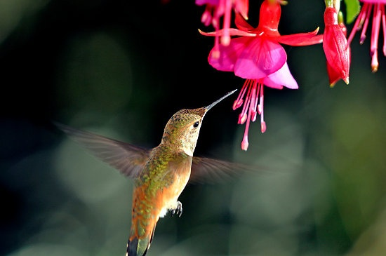 Best Hanging Basket Flowers For Hummingbirds : Best images about fuschia s on