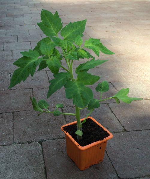 plant de tomates