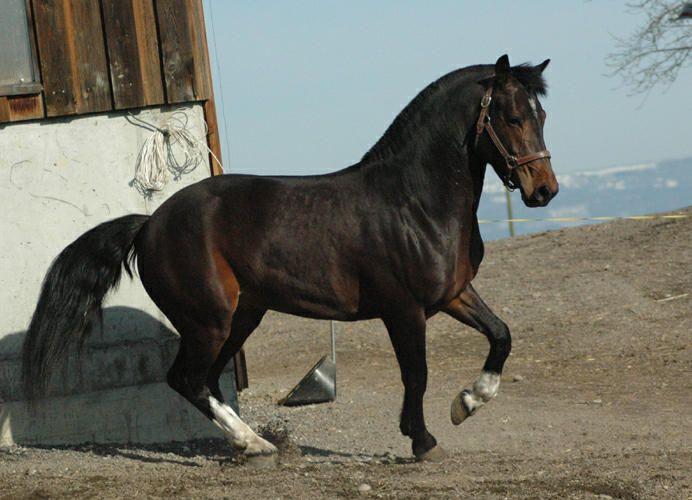 Quendal - freiberger stallion #freiberger #FM #franchesmontagnes