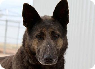 Pictures of Brinda a German Shepherd Dog for adoption in Colorado Springs, CO who needs a loving home.