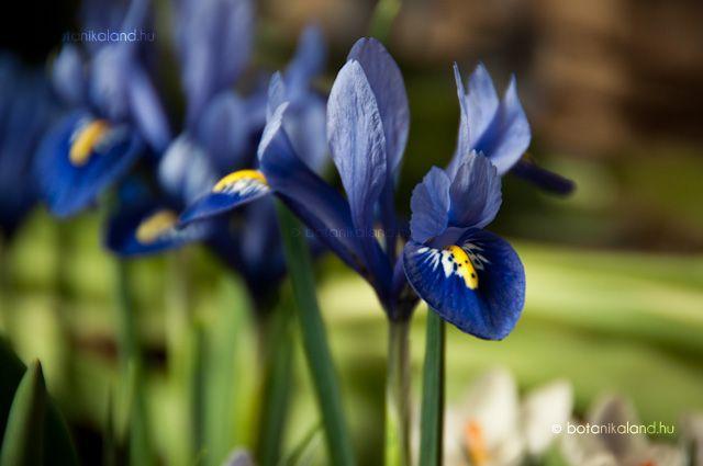 Recéshagymájú Nőszirom (Iris reticulata) gondozása, szaporítása