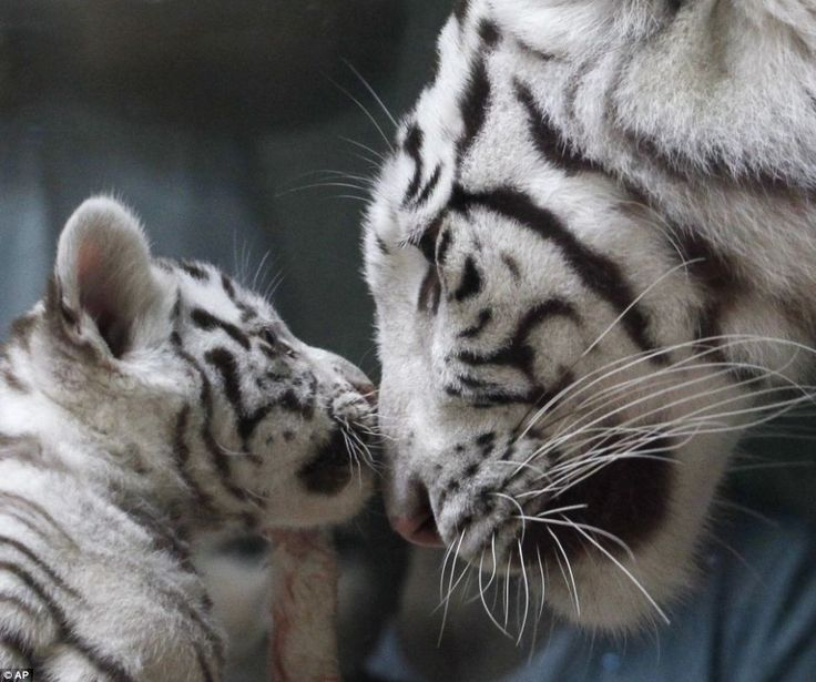 Mother and cub: White Bengal tigers are only born one in every 10,000 so triplets born to mother Surya Bara at in a Czech Republic zoo are a cute, black and white miracle