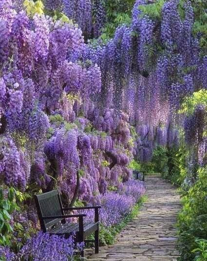 Beautiful Serenity of Wisteria