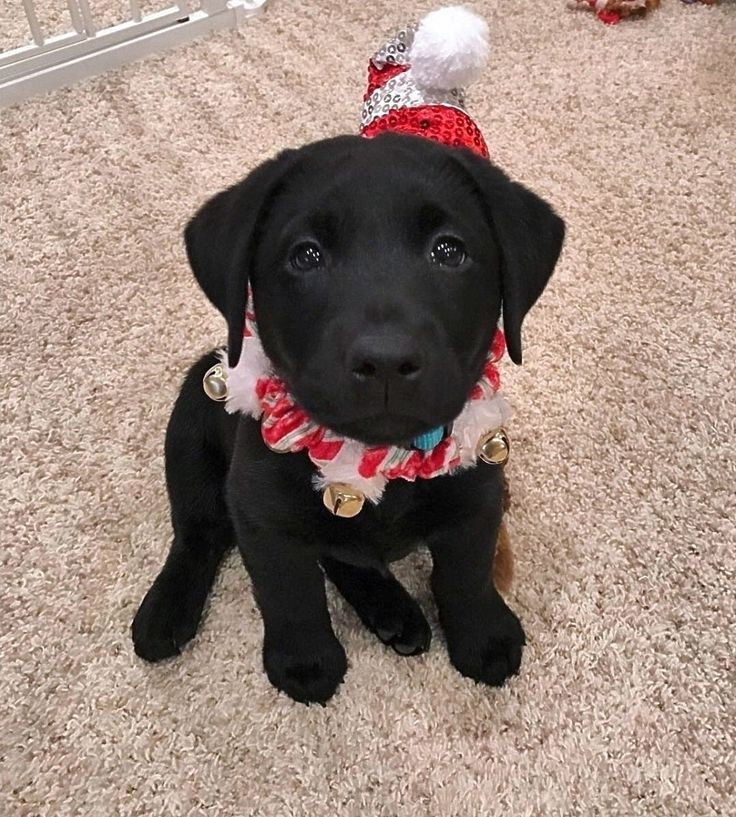 Christmas Lab puppy