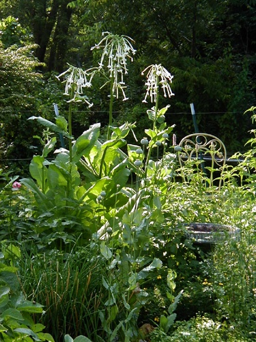 Nicotiana Sylvestris   Night Scented Garden