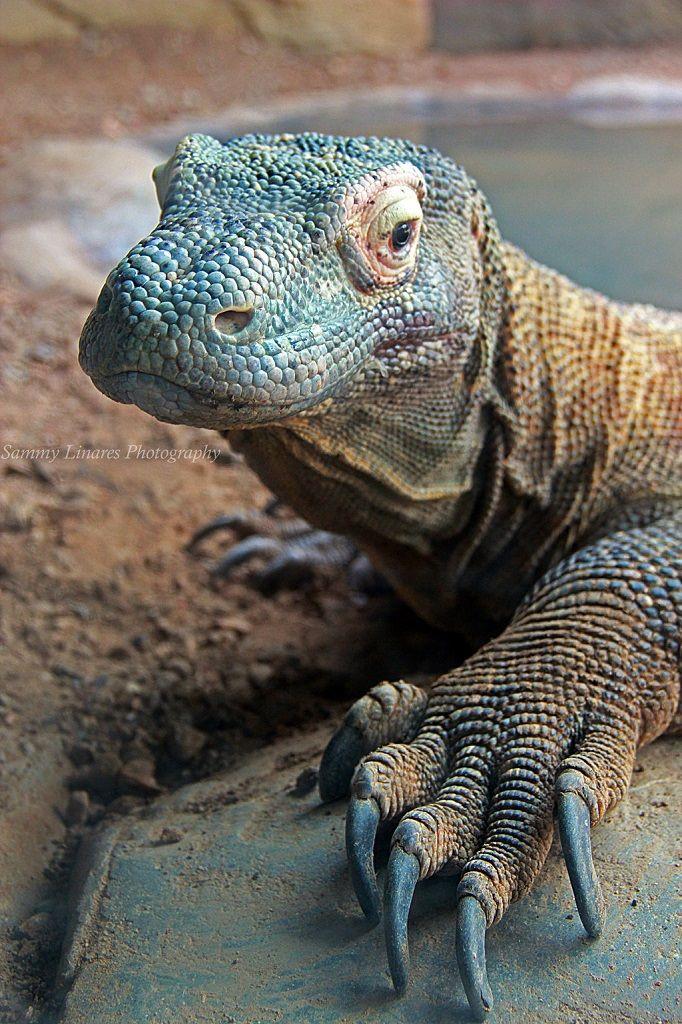 Dragón de Komodo (Varanus komodoensis), Indonesia, el lagarto de mayor tamaño, gran depredador