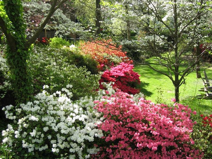 garden flowers - azaleas