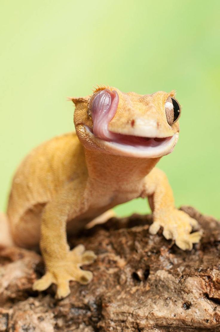 58 best reptiles images on pinterest lizards crested gecko care the crested gecko new caledonian crested gecko guichenots giant gecko or eyelash gecko correlophus ciliatus is a species of gecko native to southern nvjuhfo Images