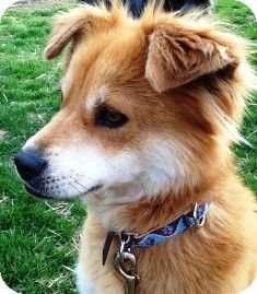 Ellie | Adopted Dog | Osseo, MN | Sheltie, Shetland Sheepdog/Shiba Inu Mix