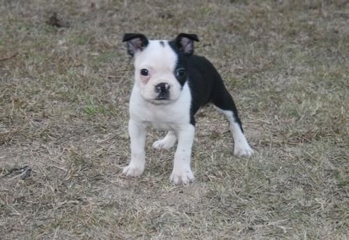 boston terriers -