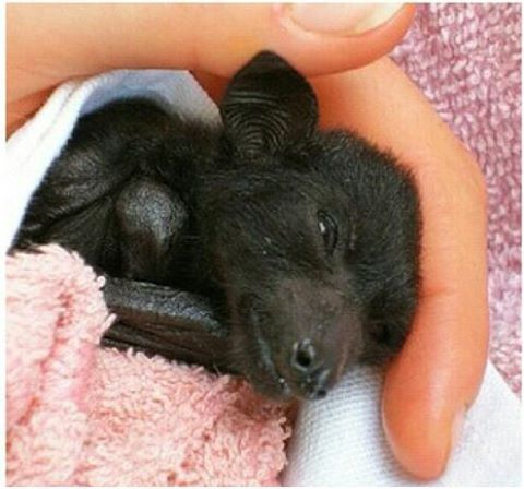 Rescued baby flying fruit bat getting a little pet and comfort.