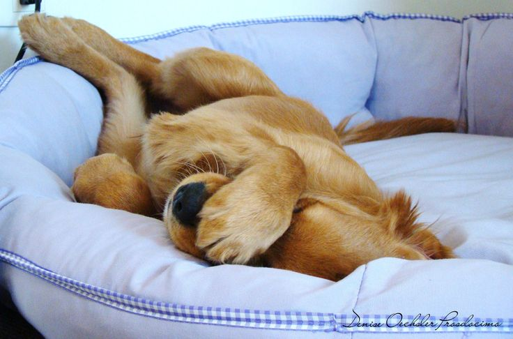 Golden Retriever resting in bed -- paw over nose