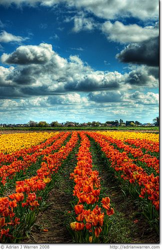 """Fields of fire    I know what you're thinking. You're thinking """"Holland"""" aren't you? Or maybe Tasmania, or perhaps Washington State?    Well, it's none of those. This is actually England!    The landscape around Spalding in Lincolnshire is very reminiscent of Holland."""