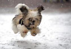 I love shitzu puppies