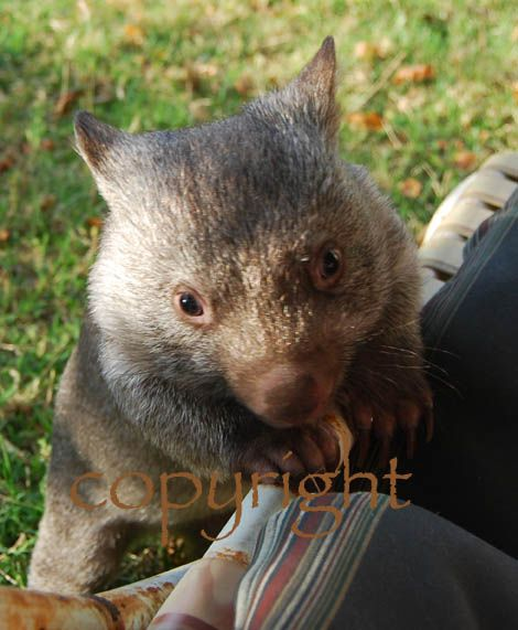 Baby Wombat Climbing photo card. http://rocklilywombats.com/shop/