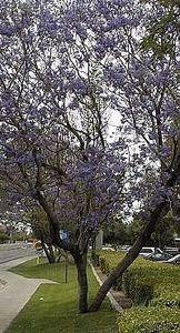 I love the purple flowers on a jacaranda tree!