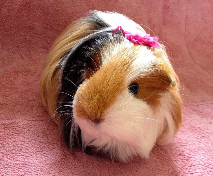 Best 25 Cute Guinea Pigs Ideas On Pinterest Guinea Pigs