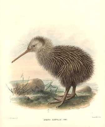 Kiwi calls are usually heard an hour before dawn and an hour after dusk. Rowley, G.D., Ornithological Miscellany, 1875-78.