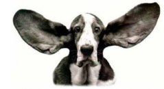 ear wash solution for dogs with a tendency toward ear problems/infections:  2 oz witch hazel, 5 drops tea tree oil, 5 drops clove oil.  Mix in clean bottle.  Before using, warm bottle in your hands then squirt half dropperful in each ear, fold over ear and gently massage for 30 secs.