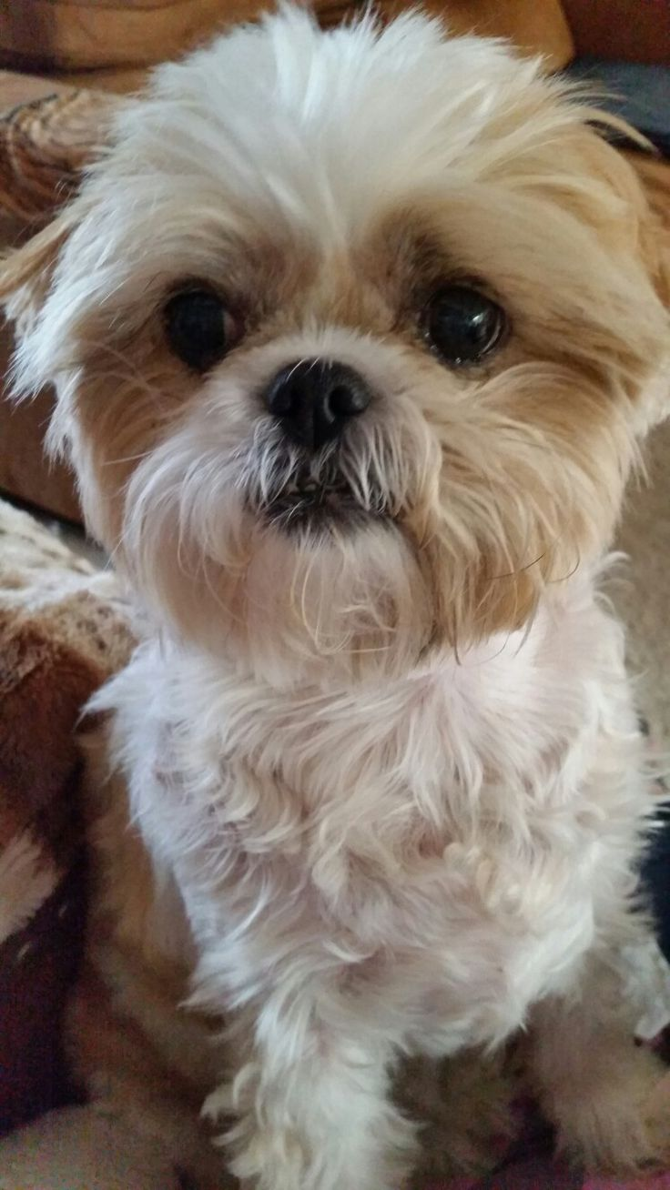 Shih Tzu Puppy Training Tips - idogtips.com