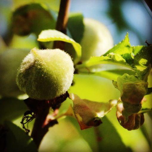 Oltre 25 fantastiche idee su alberi da frutto su pinterest - Calendario trattamenti piante da frutto ...